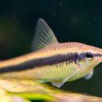 Ryba kosiarka