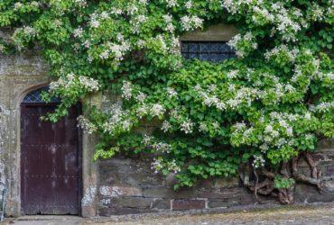 Hortensja pnąca (hydrangea petiolaris)